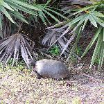 Gopher Tortoise on the Okeeheelee Nature Walk in West Palm Beach on 1/28/12