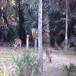 Deer on the Okeeheelee Nature Walk on 1/28/12.
