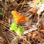 Gulf Fritillary Butterfly on the  Okeeheelee Nature Walk in West Palm Beach 1-28-12
