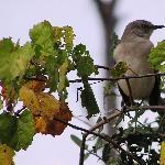 Northern mockingbird on the Okeeheelee Nature Walk on 1/28/12