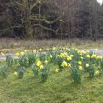 Daffs outside the parking area