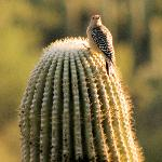 Woodpecker on saguaro