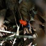 Blue Jeans or Strawberry Poison Dart Frog seen during nature hike
