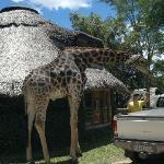 Jeffrey the giraffe