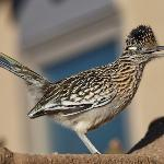 Roadrunner at the Chocolate Turtle