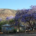 zicht op de vele Jacaranda's