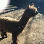 one of the sweet alpaca crew