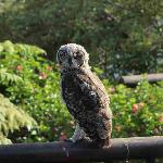 Owls visiting our gardens