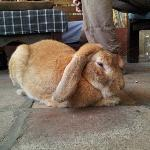 the rabbit - the hostel's mascot