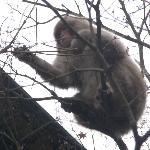 雪がふると猿がおりてくるそうな