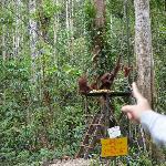 Orang Utan just a meter away from us