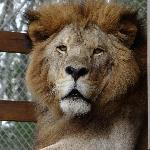 Tal - a resident lion