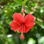 Hibiscus flower - Beautiful Gardens
