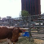 Longhorn Festival at the Hyatt - This is TX!