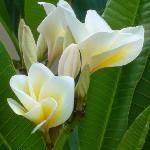 Frangipani / plumeria in our gardens