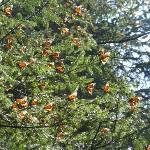 Monarchs sunning themselves