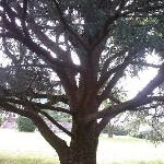One of the lovely trees on the grounds of Killahevlin