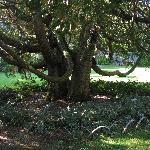 Thuya Garden tree