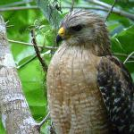Red-shouldered hawk near boardwalk