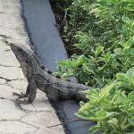 Iguanas chillin out