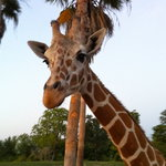 Serengeti Night Safari at Busch Gardens Foto