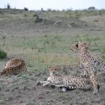 Cheetah siblings in the late afternoon