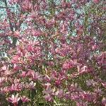 Tulip Tree at peak!