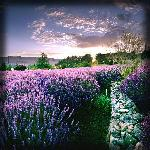 Matanzas Creek Winery Lavender gardens