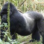 Another Silverback