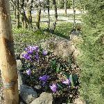 il primo giorno di primavera 2012  ..crochi in fiore