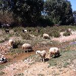 lots of sheep & lambs