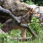 Red Wolf pup - 2010
