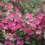 the beautiful azaleas