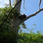 Koala dans la région de Byron