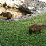 The local agouti love to play in the backyard at Villas Picalu - Very cute!