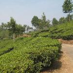 A walk in the tea garden, just behind the hotel