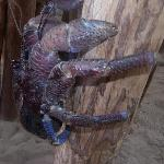 granchio del cocco