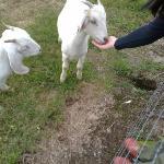 Feeding the friendly goats!