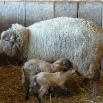 Twin lambs 3/2012