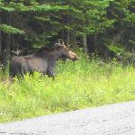 Moose Near Kakadjo, Maine