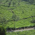 Tea bushes everywhere!