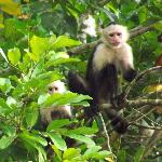 Capuchins check us out at the lodge