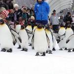 ペンギンの散歩。