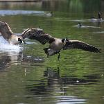 Canada Geese chasing each other