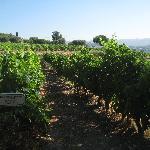 Vines at Domaines Bunan
