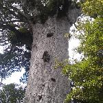 Kauri tree over 2000 years old