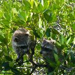Raccoons in the Mangrove