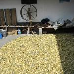 corn drying in the courtyard of Miquel's home/workshop