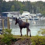 The Moose is loose in York Harbor