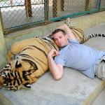 relaxing with an adult tiger